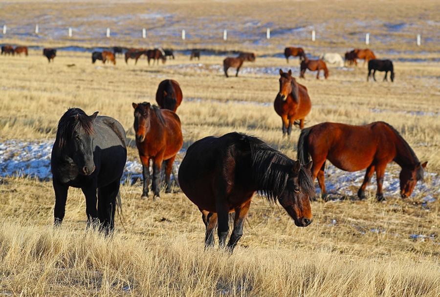 Horses graze on the prairie at the Shandan Military Horse Farm, NW China\'s Gansu Province, during the winter. (Photo by Cheng Lin for chinadaily.com.cn)
