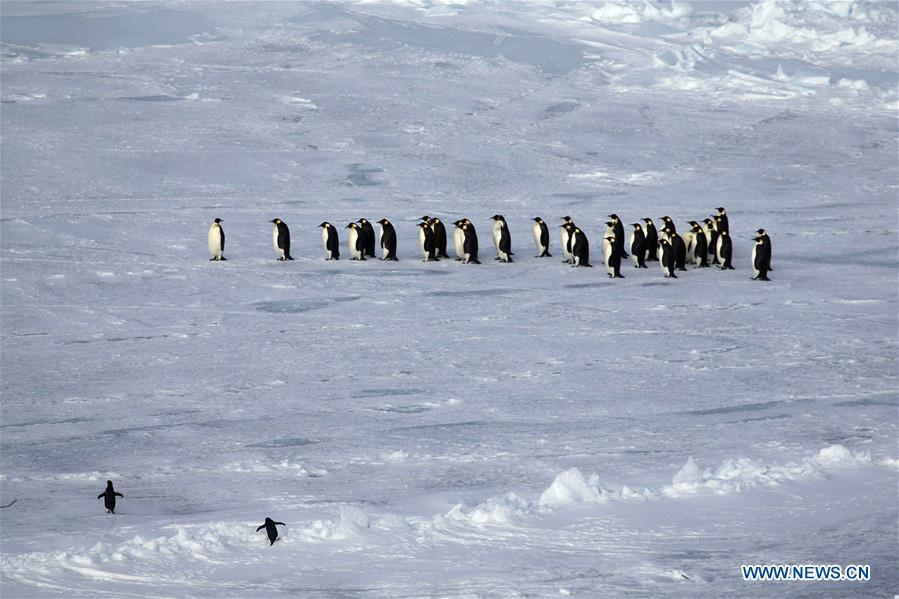 Photo taken on Nov. 30, 2018 shows penguins at the Prydz Bay in Antarctica. Xuelong, carrying a research team on the country\'s 35th Antarctic expedition, set sail from Shanghai on Nov. 2 and passed Prydz Bay, the last sea area before arriving at China\'s Zhongshan Station in Antarctica. (Xinhua/Liu Shiping)