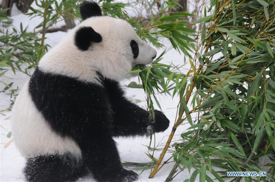 Giant panda Fu Feng has bamboos in the snow-covered Panda garden at Zoo Vienna in Vienna, Austria, on Dec. 1, 2018. Austrian President Alexander Van der Bellen visited the panda twins, Fu Feng and Fu Ban, at Zoo Vienna on Saturday to say goodbye as the pandas will return to Sichuan province, the hometown of giant pandas in China on Sunday. (Xinhua/Liu Xiang)