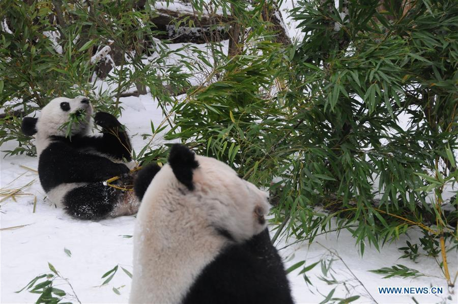 Giant panda Fu Feng and its mother Yang Yang have bamboos in the snow-covered Panda garden at Zoo Vienna in Vienna, Austria, on Dec. 1, 2018. Austrian President Alexander Van der Bellen visited the panda twins, Fu Feng and Fu Ban, at Zoo Vienna on Saturday to say goodbye as the pandas will return to Sichuan province, the hometown of giant pandas in China on Sunday. (Xinhua/Liu Xiang)