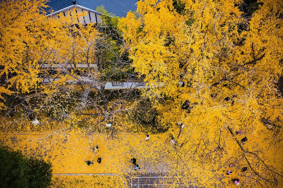 Golden ginkgo leaves cover the grounds at the Xuanwuhu scenic area in Nanjing city, Jiangsu Province, Dec. 1, 2018.(Photo/Asianewsphoto)