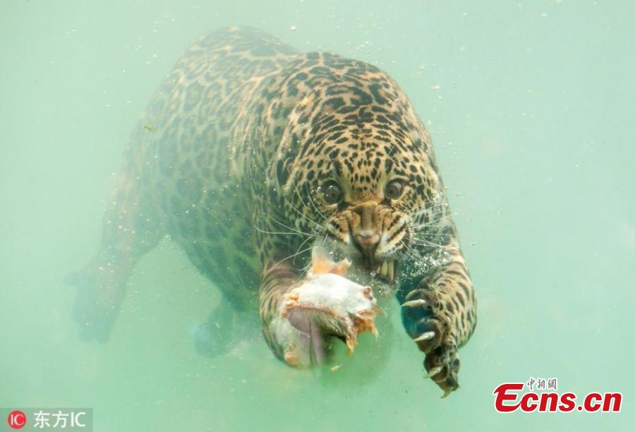 A jaguar dives underwater to catch its dinner. With teeth bared, claws drawn and eyes focused the stunning predator dives for fish that had been thrown into the water at the Zoo de Bordeaux Pessac in France. (Photo/IC)