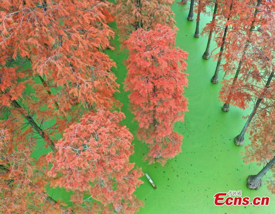 The photo taken on December 1, 2018 shows tens of thousands of Chinese sequoias, growing in one-meter-deep water at Zhangdu Lake Wetland in Wuhan City, central China\'s Hubei Province. (Photo/China News Service)
