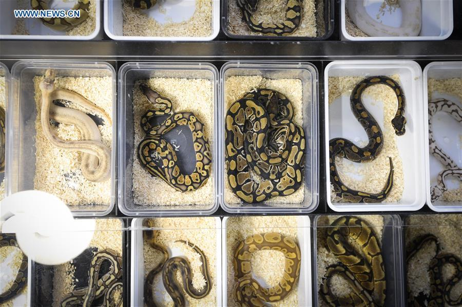 Snakes are seen at the Exotic Zoo in Warsaw, Poland on Dec. 2, 2018. The Exotic Zoo is a one-day event where people can see, touch and buy exotic reptiles, insects, amphibians and arthropods. The exhibition attracted hundreds of visitors on Sunday. (Xinhua/Jaap Arriens)