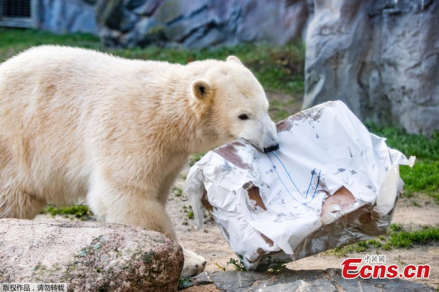 Nanook, a one-year-old polar bear plays with its birthday presents at a zoo in Gelsenkirchen, Germany on December 4, 2018. The female polar bear was born on December 4, 2017. (Photo/Agencies)