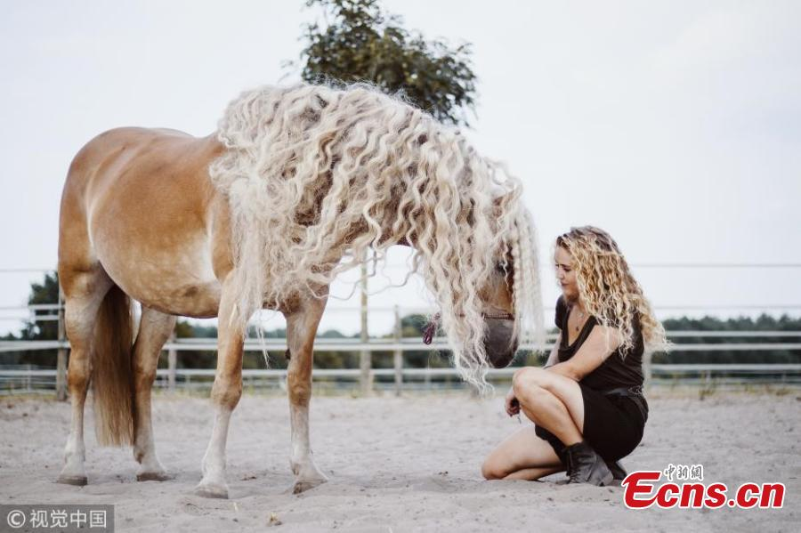 A horse almost resembles princess Rapunzel as it shows off its incredible, long blonde locks. Haflinger horses are renowned for having long manes and this female, called Storm, boasts hair which has reached more than a metre in length over the course of six years. Amateur photographer Priscilla Gijsberts captured the remarkable sight in Limburg, in the south of the Netherlands. Storm\'s owner Naomi Beckers, 24, poses with her horse. (Photo/VCG)