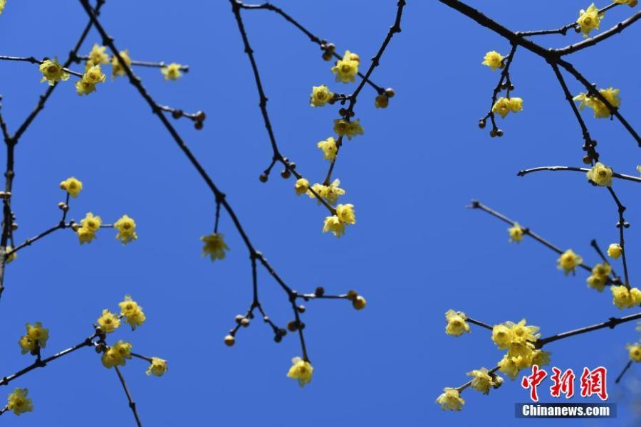 Appreciating wintersweet  Wintersweet usually blossoms in mid-to-late December in some southern cities of China. Sometimes it even blooms earlier. Wintersweet originated in China and is highly appreciated in Chinese culture for its endurance in severe winters. With pine and bamboo, it is referred to as one of the Three Friends of Winter.