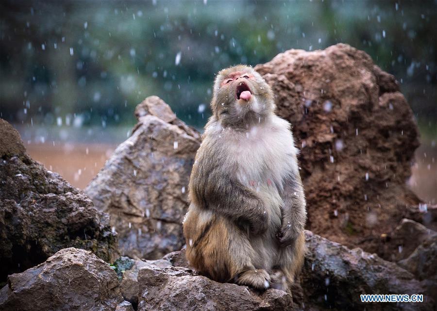 A macaque has fun in snow at Hongshan Forest Zoo in Nanjing, capital city of east China\'s Jiangsu Province, Dec. 9, 2018. (Xinhua/Su Yang)