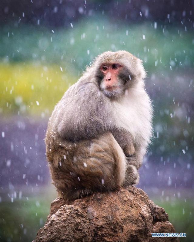 A macaque is seen in snow at Hongshan Forest Zoo in Nanjing, capital city of east China\'s Jiangsu Province, Dec. 9, 2018. (Xinhua/Su Yang)