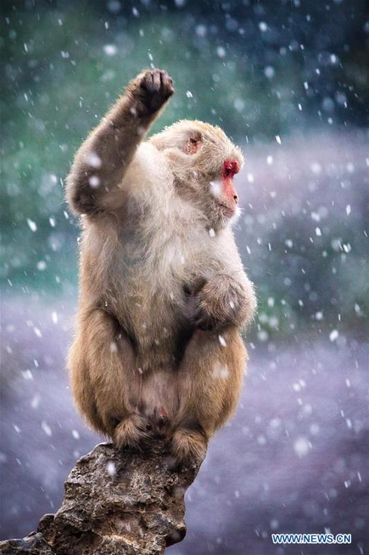A macaque is seen in snow at Hongshan Forest Zoo in Nanjing, capital city of east China\'s Jiangsu Province, Dec. 9, 2018. (Xinhua/Su Yang)