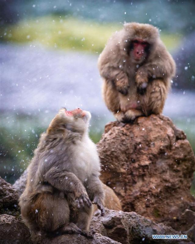 Macaques have fun in snow at Hongshan Forest Zoo in Nanjing, capital city of east China\'s Jiangsu Province, Dec. 9, 2018. (Xinhua/Su Yang)