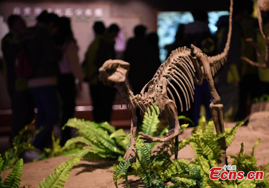 Visitors look at a display of dinosaur fossils at the Zigong Dinosaur Museum in Zigong City, Southwest China's Sichuan Province, Dec. 9, 2018. The museum sitting on top of a large concentration of a diverse dinosaur assemblage from the Dashanpu Formation, is known for vast quantities of dinosaur fossils, sound preservation, and great varieties. It is one of the three largest dinosaur museums in the world. (Photo: China News Service/Liu Zhongjun)