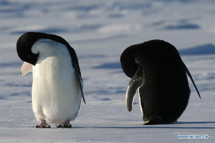 Adelie penguins rest near China\'s research icebreaker Xuelong in Antarctica, Dec. 2, 2018. China\'s research icebreaker Xuelong, also known as the Snow Dragon, is now 44 kilometers away from the Zhongshan station. Unloading operations have been carried out after the transportation routes were determined. (Xinhua/Liu Shiping)