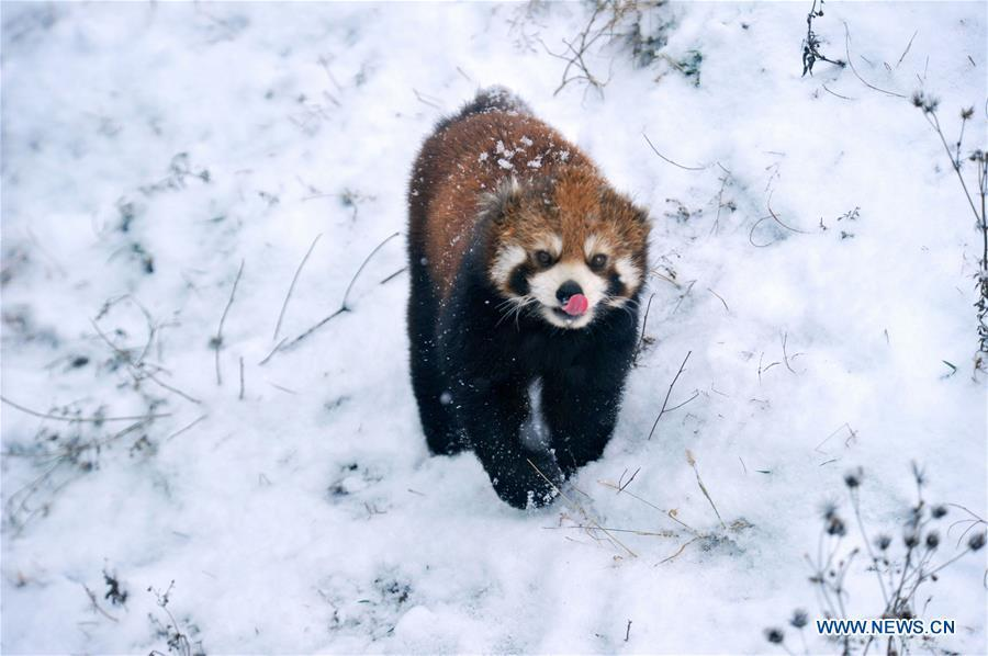 A red panda walks in snow in Qingdao Forest Wildlife World in Qingdao City, east China\'s Shandong Province, Dec. 11, 2018. Parts of Shandong Province met snow on Tuesday. (Xinhua)