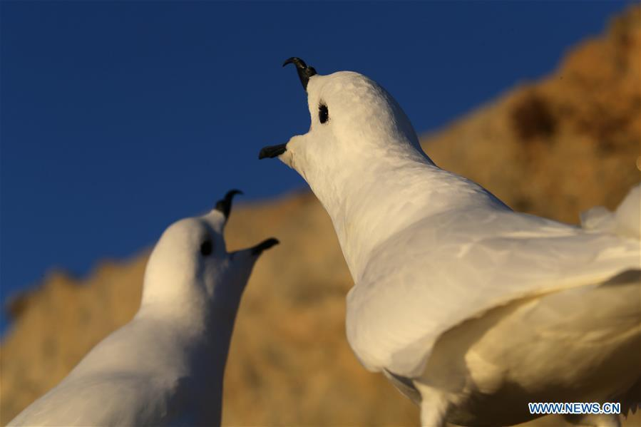 Snow petrels are seen near the Zhongshan station in Antarctica, Dec. 9, 2018. China\'s research icebreaker Xuelong, also known as the Snow Dragon, is now 44 kilometers away from the Zhongshan station. Unloading operations have been carried out after the transportation routes were determined. (Xinhua/Liu Shiping)