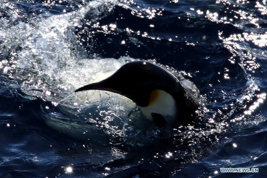 An emperor penguin swims near China\'s research icebreaker Xuelong in Antarctica, Dec. 5, 2018. China\'s research icebreaker Xuelong, also known as the Snow Dragon, is now 44 kilometers away from the Zhongshan station. Unloading operations have been carried out after the transportation routes were determined. (Xinhua/Liu Shiping)