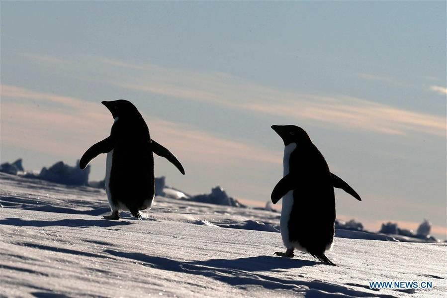 Adelie penguins walk near China\'s research icebreaker Xuelong in Antarctica, Dec. 2, 2018. China\'s research icebreaker Xuelong, also known as the Snow Dragon, is now 44 kilometers away from the Zhongshan station. Unloading operations have been carried out after the transportation routes were determined. (Xinhua/Liu Shiping)