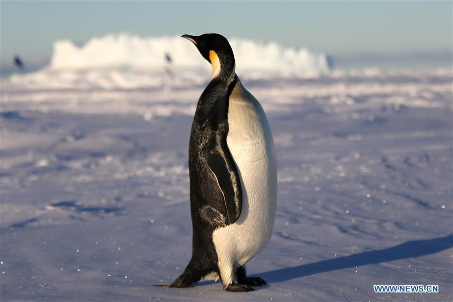 An emperor penguin is seen near China\'s research icebreaker Xuelong in Antarctica, Dec. 2, 2018. China\'s research icebreaker Xuelong, also known as the Snow Dragon, is now 44 kilometers away from the Zhongshan station. Unloading operations have been carried out after the transportation routes were determined. (Xinhua/Liu Shiping)