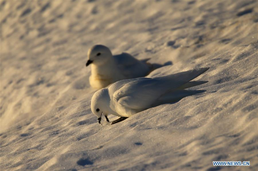 Snow petrels are seen near the Zhongshan station in Antarctica, Dec. 10, 2018. China\'s research icebreaker Xuelong, also known as the Snow Dragon, is now 44 kilometers away from the Zhongshan station. Unloading operations have been carried out after the transportation routes were determined. (Xinhua/Liu Shiping)
