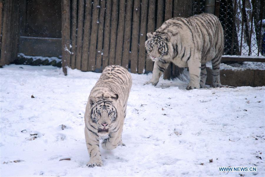 Tigers walk in snow in Qingdao Forest Wildlife World in Qingdao City, east China\'s Shandong Province, Dec. 11, 2018. Parts of Shandong Province met snow on Tuesday. (Xinhua)