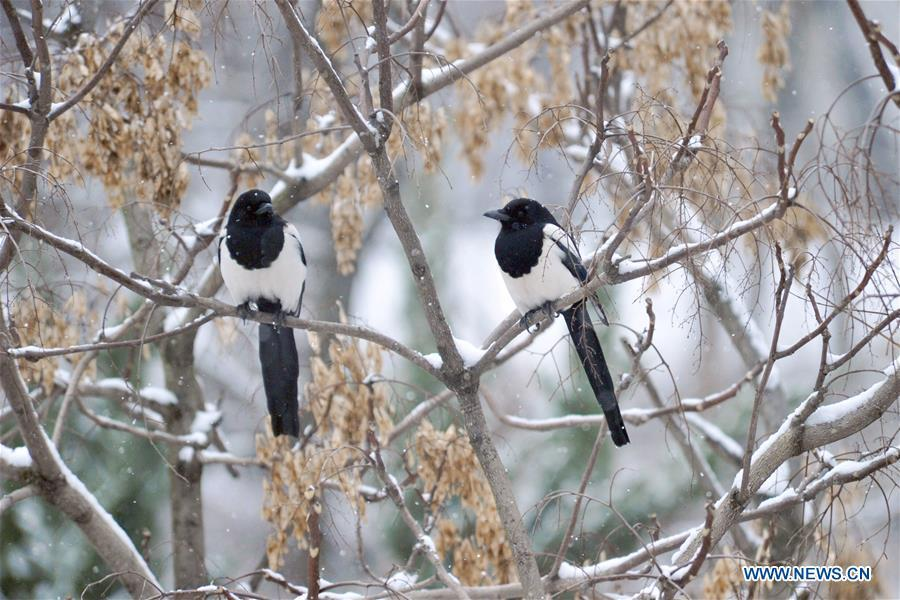 Two birds settle on branches in snow in Qingdao Forest Wildlife World in Qingdao City, east China\'s Shandong Province, Dec. 11, 2018. Parts of Shandong Province met snow on Tuesday. (Xinhua)