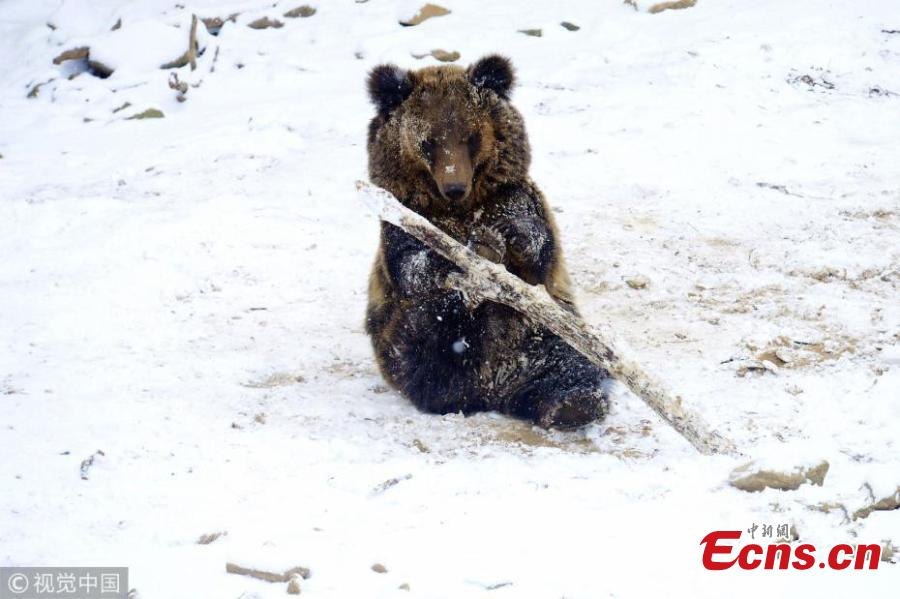 One of five brown bear cubs plays in the snow with a wooden stick at a forest park in Qingdao City, East China's Shandong Province, Dec. 11, 2018. (Photo/VCG)