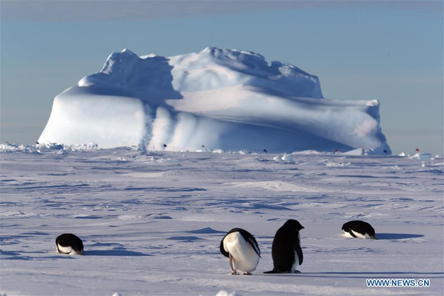 Adelie penguins are seen near China\'s research icebreaker Xuelong in Antarctica, Dec. 2, 2018. China\'s research icebreaker Xuelong, also known as the Snow Dragon, is now 44 kilometers away from the Zhongshan station. Unloading operations have been carried out after the transportation routes were determined. (Xinhua/Liu Shiping)
