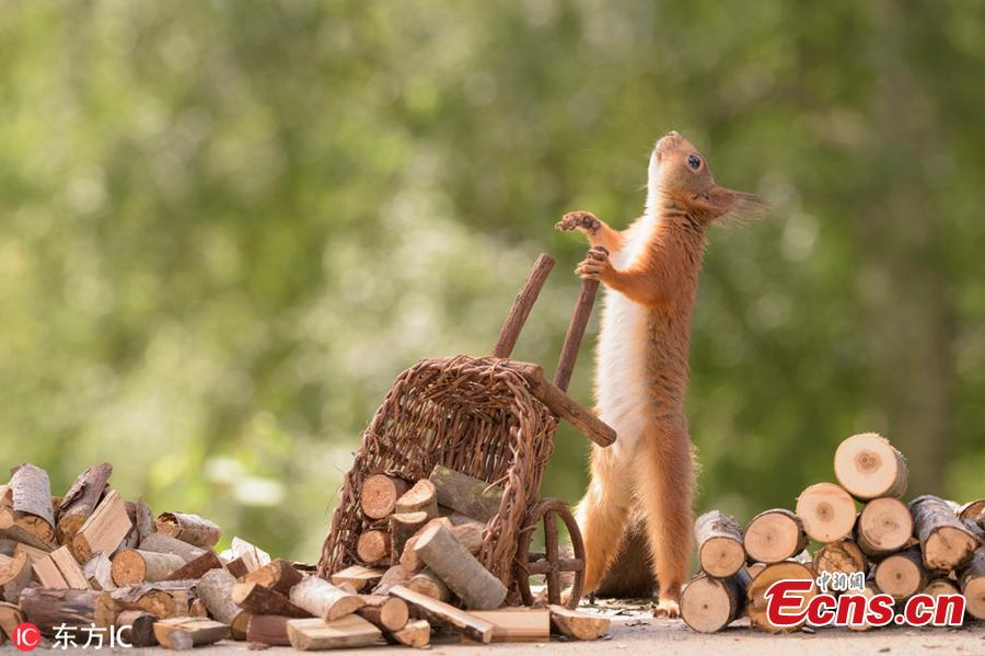 A wild squirrel unloads logs off a cart. The surreal pictures show the squirrels hard at work cutting the stick into tiny logs before wheeling them from their pile over to the stove.(Photo/IC)