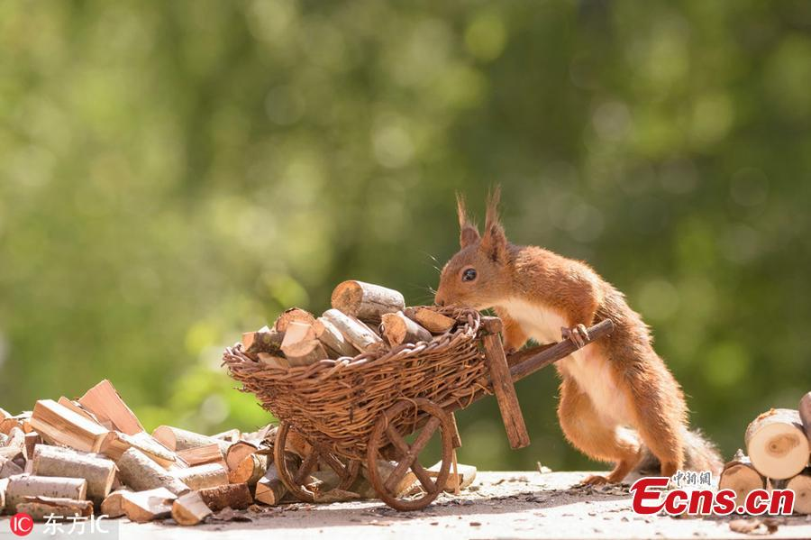 A wild squirrel pushes a cart with logs. The surreal pictures show the squirrels hard at work cutting the stick into tiny logs before wheeling them from their pile over to the stove.(Photo/IC)