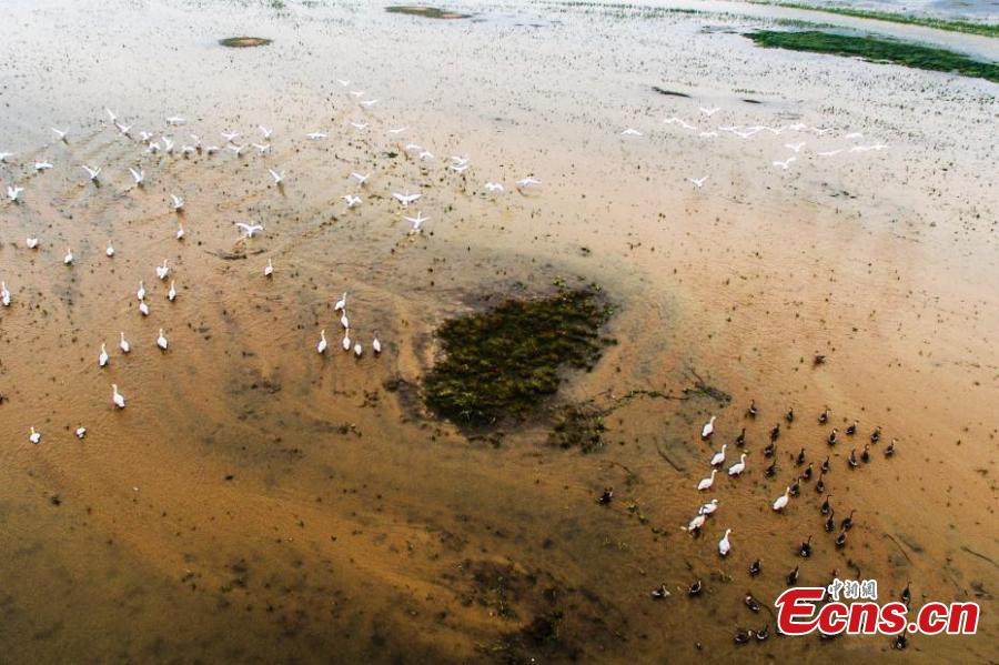 Migratory birds arrive at Poyang Lake for the winter in Duchang County, East China's Jiangxi Province, Dec. 13, 2018. Poyang Lake, the largest freshwater lake in China, is an important wetland area and the largest migratory bird habitat in Asia in winter, attracting Siberian cranes and white-naped cranes, among other birds. (Photo: China News Service/Liu Zhankun)
