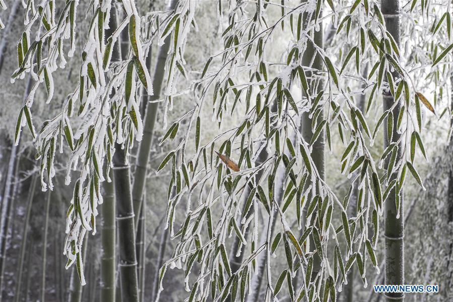 Photo taken on Dec. 13, 2018 shows the bamboo forest after a snowfall at Foziling Township of Huoshan County in the Dabieshan Mountain region, east China\'s Anhui Province. (Xinhua/Xu Cheng)