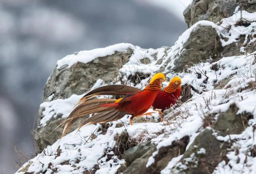 Golden pheasants, a bird species listed as a second-level protected wild animal, were seen by photographers in a snowy field in Sanmenxia city, Central China\'s Henan Province. (Photo by Zhang Rongfang for chinadaily.com.cn)