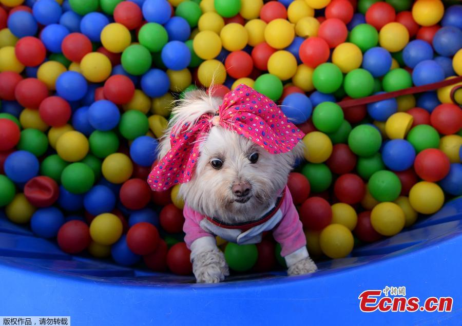 India\'s biggest pet festival Pet Fed in Delhi on Dec. 15 and 16, 2018. The festival included fashion show, security dog show, adoption camp and other activities. The 5th edition of Pet Fed focused on encouraging people into adopting Indie breeds of dogs and cats. (Photo/Agencies)