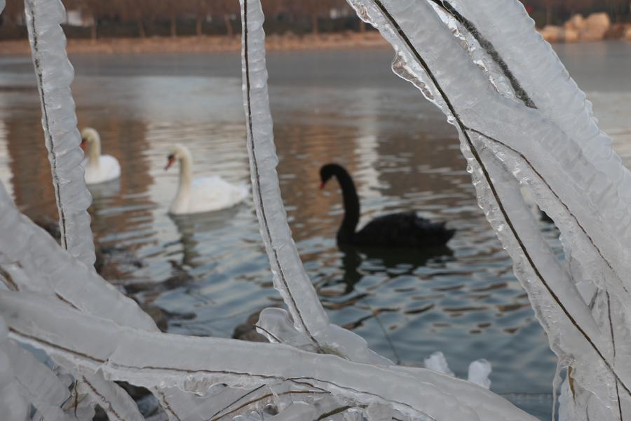 More than 100 swans play and dance on the water in the cold weather in Swan Lake, Guangping county, Handan city, Hebei province, on Dec 14. Their white and black feathers and graceful gestures attract tourists to stop and watch. (Photo by Cheng Xuehu/Asianewsphoto)