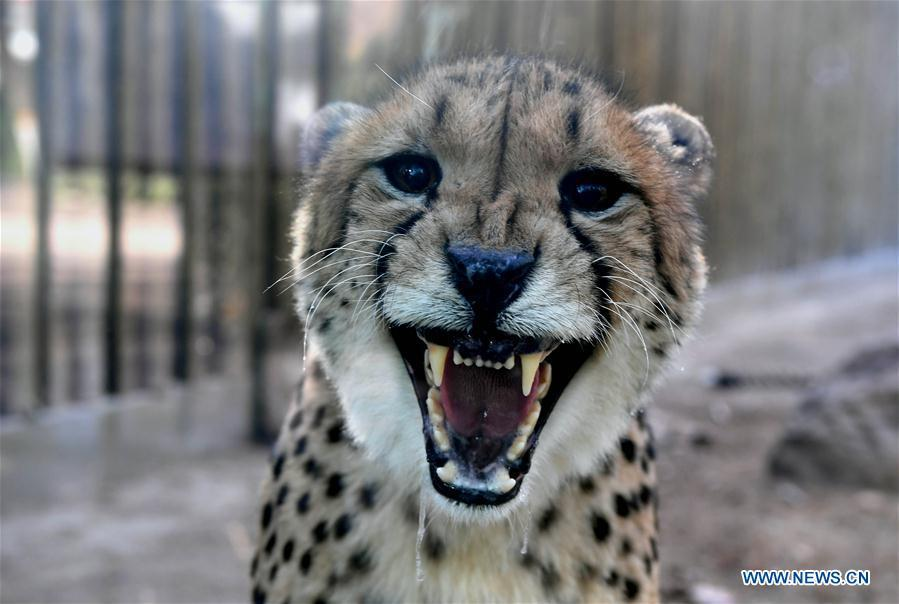 <?php echo strip_tags(addslashes(A cheetah is seen in the Zhengzhou Zoo in Zhengzhou, capital of central China's Henan Province, Dec. 18, 2018. Zhengzhou Zoo has welcomed five couples of cheetahs from South Africa for the first time recently. (Xinhua/Li An))) ?>