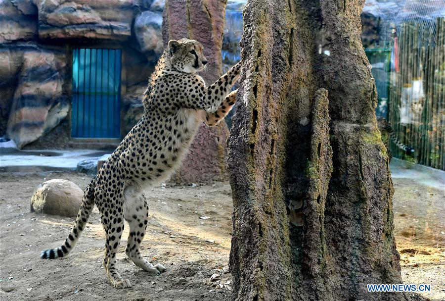 A cheetah plays in the cheetah house at the Zhengzhou Zoo in Zhengzhou, capital of central China\'s Henan Province, Dec. 18, 2018. Zhengzhou Zoo has welcomed five couples of cheetahs from South Africa for the first time recently. (Xinhua/Li An)
