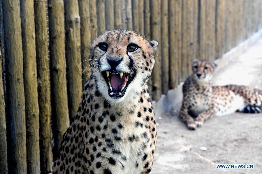 <?php echo strip_tags(addslashes(Cheetahs are seen in the Zhengzhou Zoo in Zhengzhou, capital of central China's Henan Province, Dec. 18, 2018. Zhengzhou Zoo has welcomed five couples of cheetahs from South Africa for the first time recently. (Xinhua/Li An))) ?>