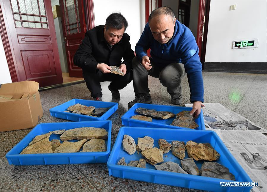 Researchers Wang Xin (L) and Fu Qiang arrange the flower fossils Nanjing Institute of Geology and Palaeontology in Nanjing, east China\'s Jiangsu Province, Dec. 18, 2018. Scientists have found new evidence of the world\'s earliest fossil flower from specimens unearthed in the eastern China city of Nanjing, dating the origin of flowering plants to 174 million years ago, or the Early Jurassic. An international research team led by scientists from the Nanjing Institute of Geology and Palaeontology has made an observation of the specimens, which contain 198 individual flowers preserved on 34 slabs. They named the flower, which has four to five petals and looks like modern plum blossom, Nanjinganthus. The research pushed the origin of flowering plants 50 million years earlier than the record of previously available fossils, which suggested flowering plants appeared about 125 million years ago in the Cretaceous, an era during which many insects such as bees appeared. The Early Jurassic is known as the period that saw dinosaurs dominating the planet. The discovery reshapes the current understanding of the evolution of flowers. (Xinhua/Sun Can)