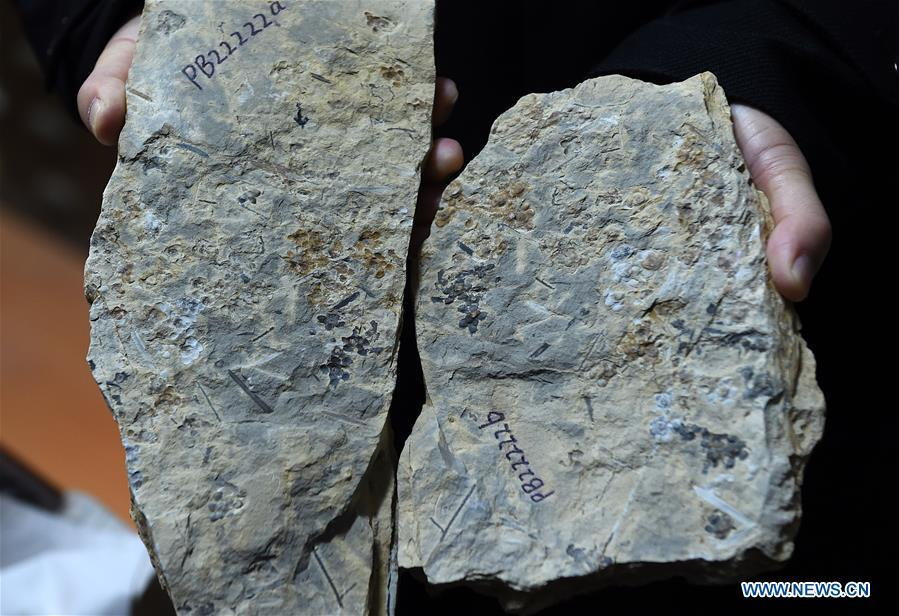 A researcher shows the flower fossils at Nanjing Institute of Geology and Palaeontology in Nanjing, east China\'s Jiangsu Province, Dec. 18, 2018. Scientists have found new evidence of the world\'s earliest fossil flower from specimens unearthed in the eastern China city of Nanjing, dating the origin of flowering plants to 174 million years ago, or the Early Jurassic. An international research team led by scientists from the Nanjing Institute of Geology and Palaeontology has made an observation of the specimens, which contain 198 individual flowers preserved on 34 slabs. They named the flower, which has four to five petals and looks like modern plum blossom, Nanjinganthus. The research pushed the origin of flowering plants 50 million years earlier than the record of previously available fossils, which suggested flowering plants appeared about 125 million years ago in the Cretaceous, an era during which many insects such as bees appeared. The Early Jurassic is known as the period that saw dinosaurs dominating the planet. The discovery reshapes the current understanding of the evolution of flowers. (Xinhua/Sun Can)