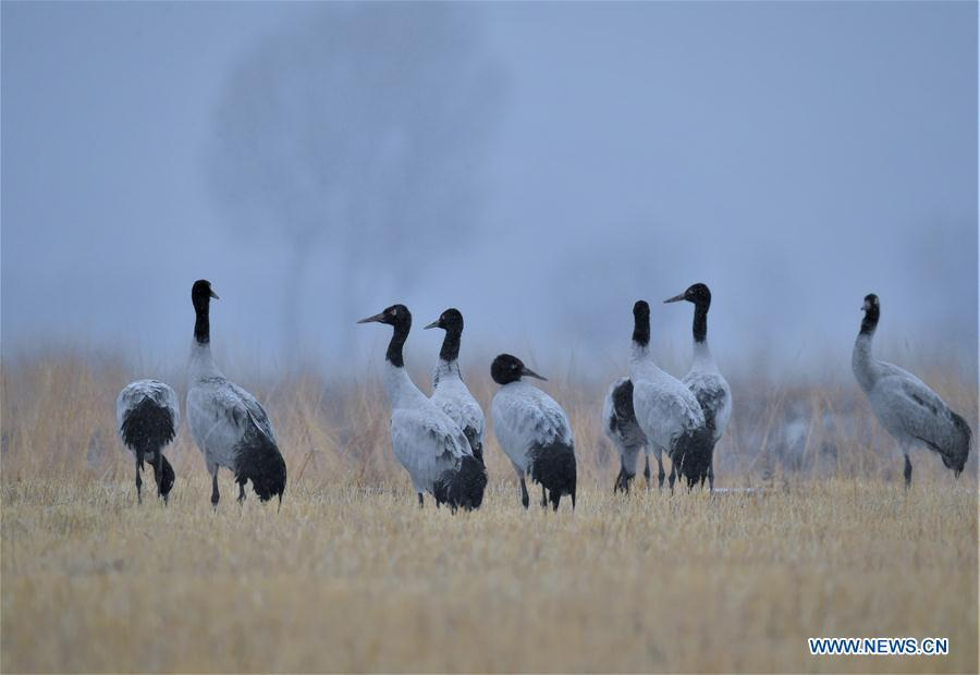Photo taken on Dec. 18, 2018 shows black-necked cranes in Linzhou County of Lhasa, capital of southwest China\'s Tibet Autonomous Region. Thousands of black-necked cranes have arrived here to spend the winter time. (Xinhua/Purbu Zhaxi)