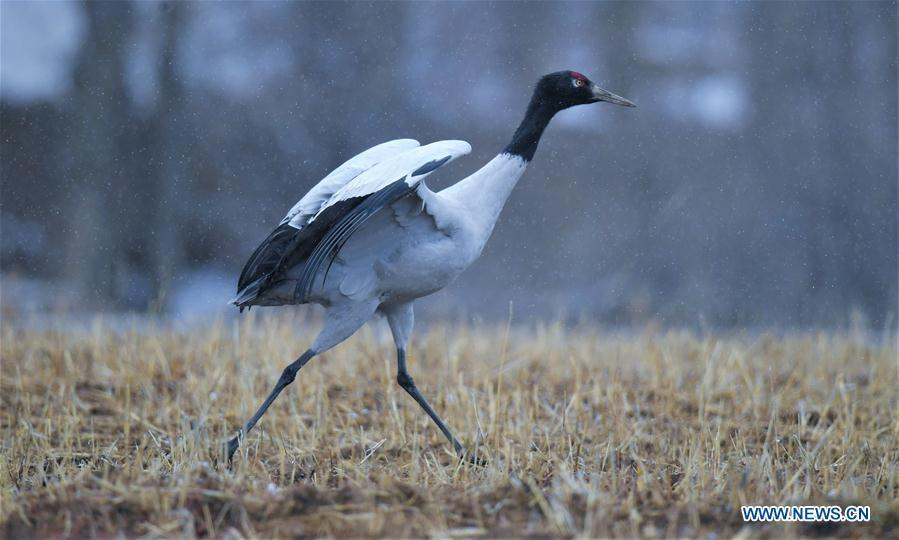 Photo taken on Dec. 18, 2018 shows a black-necked crane in Linzhou County of Lhasa, capital of southwest China\'s Tibet Autonomous Region. Thousands of black-necked cranes have arrived here to spend the winter time. (Xinhua/Purbu Zhaxi)