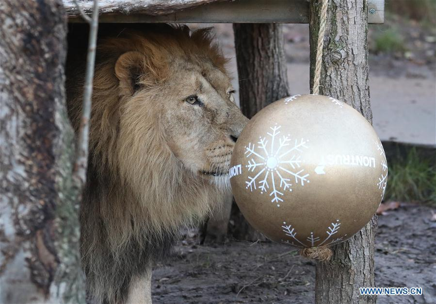 A lion enjoys \'Christmas pudding\', a giant ball scented with classic yuletide spices, during an \'Animal Adventures this Christmas\' photocall at Zoological Society of London (ZSL) London Zoo, in London, Britain, on Dec. 20, 2018. Zookeepers of the ZSL London Zoo prepared some seasonal surprises for the Zoo\'s residents to enjoy on Thursday. (Xinhua/Isabel Infantes)
