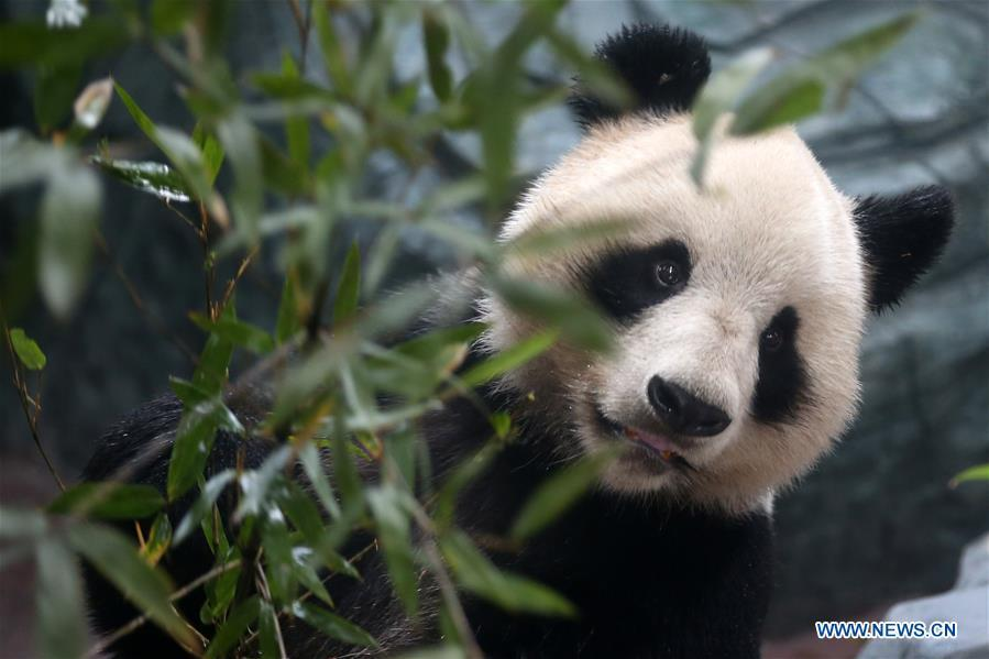 A giant panda rests at a panda theme park in Huangshan City, east China\'s Anhui Province, Dec. 20, 2018. Giant pandas \