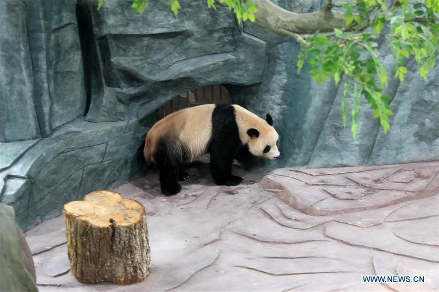 A giant panda is seen at a panda theme park in Huangshan City, east China\'s Anhui Province, Dec. 20, 2018. Giant pandas \