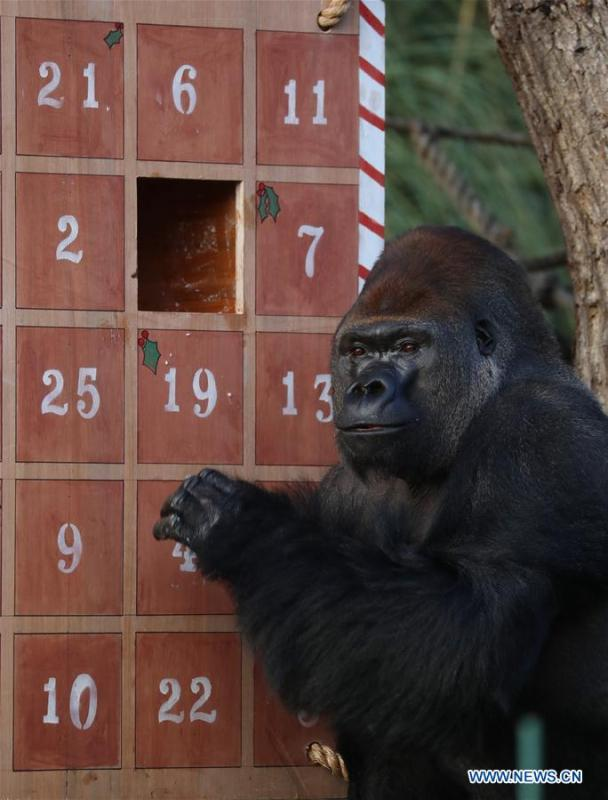 A gorilla enjoys the treats in a giant advent calendar during an \'Animal Adventures this Christmas\' photocall at Zoological Society of London (ZSL) London Zoo, in London, Britain, on Dec. 20, 2018. Zookeepers of the ZSL London Zoo prepared some seasonal surprises for the Zoo\'s residents to enjoy on Thursday. (Xinhua/Isabel Infantes)