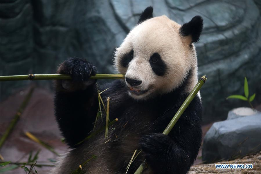 A giant panda eats bamboo shoots at a panda theme park in Huangshan City, east China\'s Anhui Province, Dec. 20, 2018. Giant pandas \