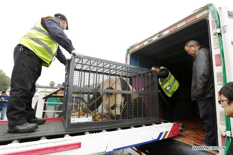 Staff members escort giant panda \
