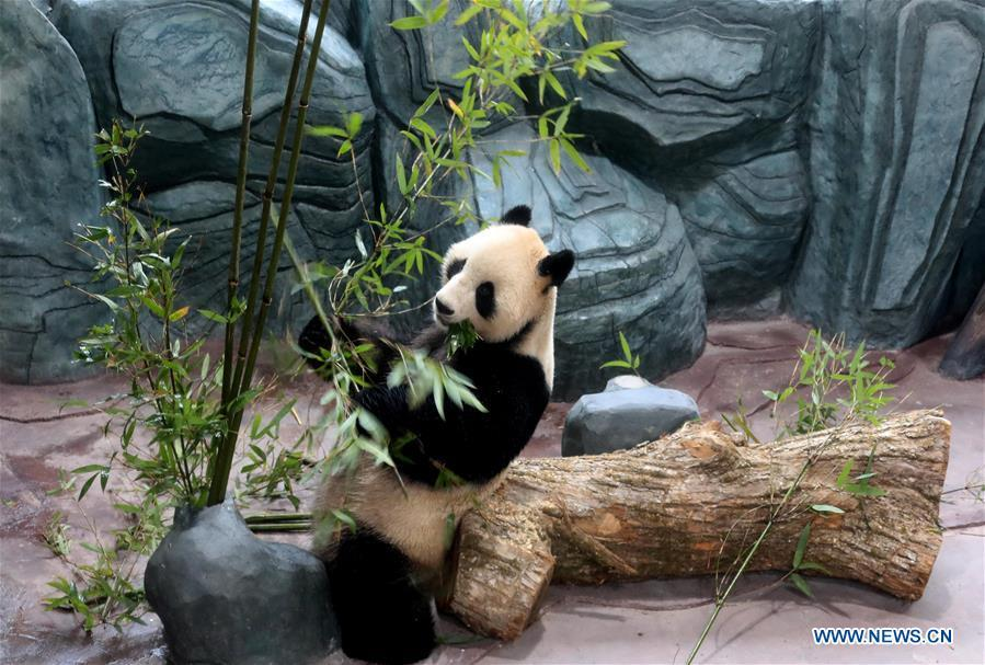 A giant panda eats bamboo leaves at a panda theme park in Huangshan City, east China\'s Anhui Province, Dec. 20, 2018. Giant pandas \
