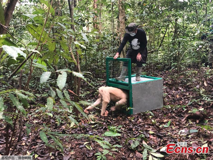 Alba, an albino orangutan, is released by a conservationist of the Borneo Orangutan Survival Foundation inside Bukit Baka Bukit Raya National Park in Central Kalimantan, Indonesia, Dec. 19, 2018. The world\'s only known albino orangutan climbed trees, foraged for food and began building a nest after being released into a remote Borneo jungle more than a year after conservation officials found her starving and dehydrated in an Indonesian village. (Photo/Agencies)