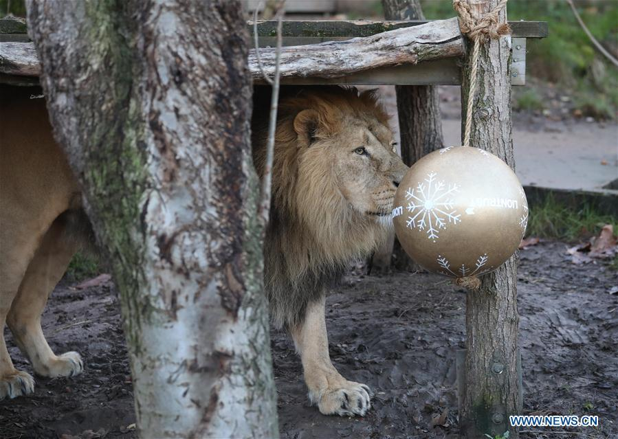A lion enjoys \'Christmas pudding\',a giant ball scented with classic yuletide spices, during an \'Animal Adventures this Christmas\' photocall at Zoological Society of London (ZSL) London Zoo, in London, Britain, on Dec. 20, 2018. Zookeepers of the ZSL London Zoo prepared some seasonal surprises for the Zoo\'s residents to enjoy on Thursday. (Xinhua/Isabel Infantes)